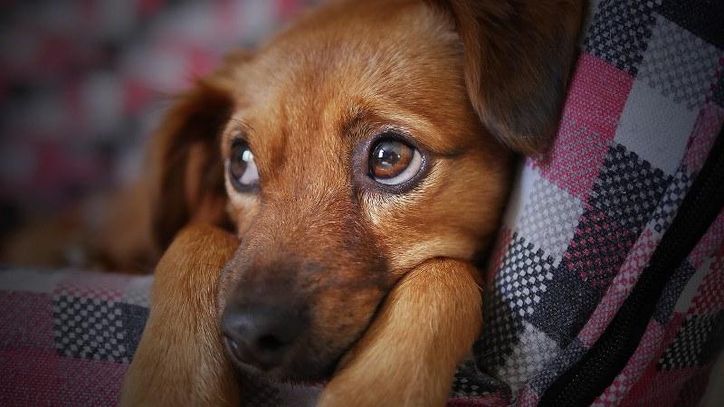 collare cane